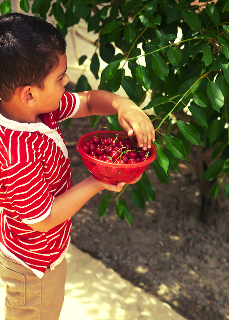 Boy picking cherries