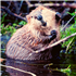 10/27/20: Webinar - Living with Beavers