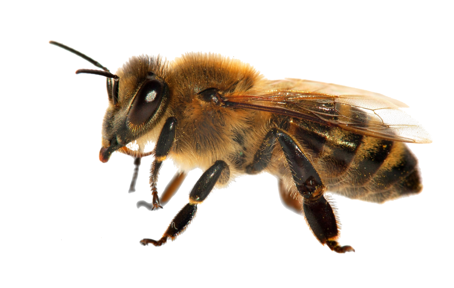 Honey Bee (PNG)